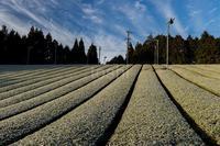 凍てつく茶畑 - toshi の ならはまほろば