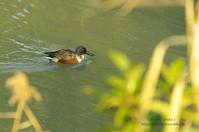 ピアノ池の鳥たち -ハシビロガモ- - It's only photo 2