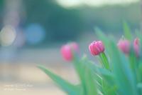 アイスチューリップ@花菜ガーデン - カメラをもってふらふらと