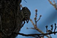 コゲラ(小啄木鳥) - 世話要らずの庭