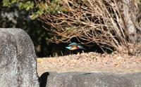 カワセミの狩りを撮るその2 - 私の鳥撮り散歩