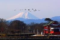 夢か幻か・・・霊峰富士を翳めて飛ぶ白鳥の群れを撮る!♪ - 『私のデジタル写真眼』