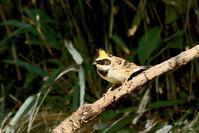 ミヤマホウジロ - barbersanの野鳥観察