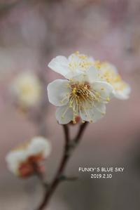 寒くても、梅*が咲いていたんだよ♪ - FUNKY'S BLUE SKY
