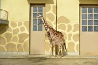 子キリン - 動物園へ行こう