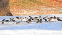 野川公園雪模様 - 山と鳥を愛するアナパパ