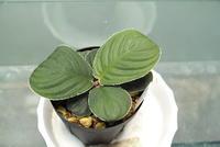 "Homalomena sp. ""Riau Sumatera"" - PlantsCade -2nd effort"