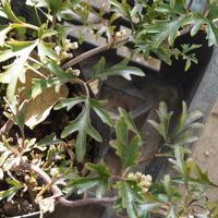 常緑クレマチスの花芽 - sola og planta ハーバリストの作業小屋