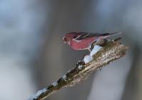 オオマシコ - 今日も鳥撮り