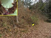 クモガタヒョウモン幼虫の環境 - 秩父の蝶