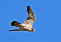 ・ハヤブサ - 鳥見撮り