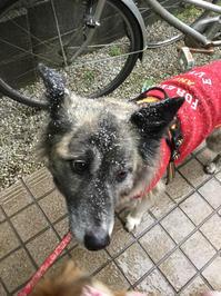 ファーストタイム - 琉球犬mix白トゥラーのピカ