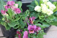つい買ってしまった汗 - my small garden~sugar plum~