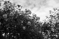beautiful roses - S w a m p y D o g - my laidback life