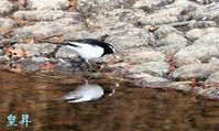 目的の鳥は来ず、合間にセグロを撮る。誠 - 皇 昇