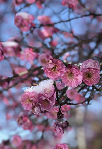 紅梅に雪 - ぬるぅい畑生活