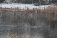 ★鳥類園では11日もキクイタダキやクイナが、西なぎさではクロツラヘラサギも見られました・・・先週末の鳥類園(2019.2.9~11) - 葛西臨海公園・鳥類園Ⅱ