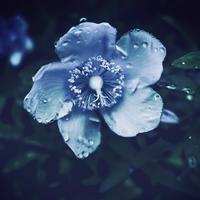 ・pale bluish blossom・ - - Foliage & Blooms Foto -