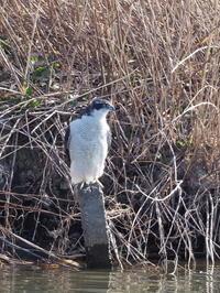 オオタカとミサゴ - コーヒー党の野鳥と自然 パート2