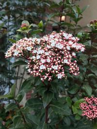 ビバーナムの花が咲いてました。 - piecing・針仕事と庭仕事の日々