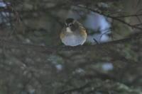 ルリビタキ、ミヤマホオジロほか - 今日の鳥さんⅡ
