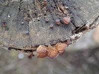 キクラゲ木耳 - 里山の四季