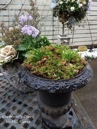 Los bulbos cubierto de musgos. - Gardener*s Diary