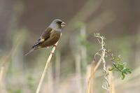 河原でカワラヒワ黄色の羽は ? - 気まぐれ野鳥写真