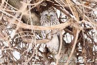 北の大地遠征1日目「エゾフクロウ」さん~Σ^) byケンケン - ケンケン&ミントの鳥撮りLifeⅡ
