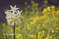湯河原梅林3分咲き。 - MIRU'S PHOTO