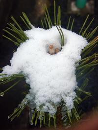 雪化粧(松) - ネコと裏山日記