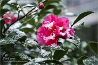 山茶花と雪、東京 - Yin Yang 陰陽(アジアンフォトエッセイ)