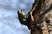 アオゲラ02月10日 - 旧サンヨン野鳥撮影放浪記