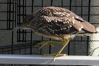 駅前マンションに居るのに野鳥とはこれ如何に - スポック艦長のPhoto Diary
