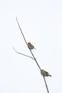 一つの枝にスズメが2羽、止まっていました。 - 平凡な日々の中で