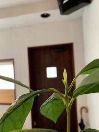 アボカドから新芽。 - sweat lodge @ blog