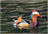 オシドリ清川の川面で寛ぐ - 野鳥の素顔 <野鳥と日々の出来事>
