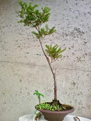 自然盆栽の米栂 - 盆栽便り