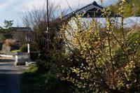 明日香の蝋梅 - katsuのヘタッピ風景