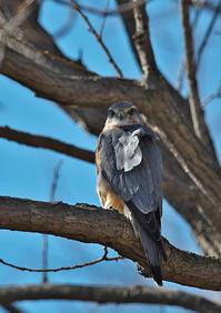 昨日のコチョウゲンボウ - 今日も鳥撮り