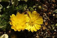 庭の春告げ花福寿草 - 風の彩り-2