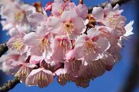 カンザクラと、温室のウツボカズラの花など - 子猫の迷い道Ⅱ