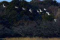 黒い森を背景に白鳥の編隊飛行を - 『私のデジタル写真眼』