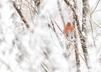 真っ白な木々に赤い小鳥...オオマシコ - 野鳥...四季折々