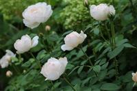 切るのが大好き*グラミスの剪定 - my small garden~sugar plum~