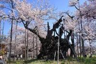 有名な神代桜とハイジの村と韮崎穂坂のマルスワイナリーをめぐるツアーを4月7日に予定しております。 - Hotel Naito ブログ 「いいじゃん♪ 山梨」