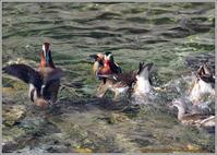 オシドリ水中のどんぐり争奪戦 - 野鳥の素顔 <野鳥と日々の出来事>