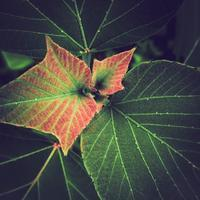 ・pale reddish new leaf・ - - Foliage & Blooms Foto -