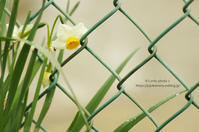 Narcissus*Ⅵ - It's only photo 2