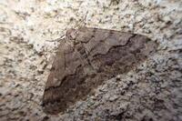 ヒロバフユエダシャクおす Larerannis miracula - 写ればおっけー。コンデジで虫写真